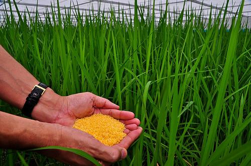 Le riz doré enfin autorisé !